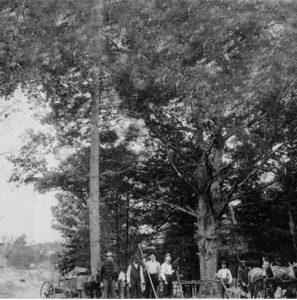 Белый дуб, прим. 1902 г.